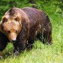 """""""Il risveglio dell'orso"""" nella Foresta Regionale della Val Grigna"""