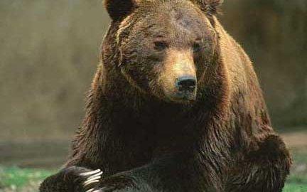 """""""La presenza dell'orso in Provincia di Brescia"""""""